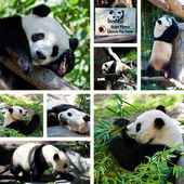 Panda collage — Stock Photo