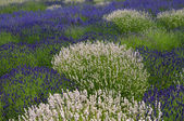 Lavender field with white and purple plants — Stock Photo