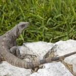 Iguana — Stock Photo #11323992