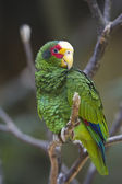 Yellow-lored Parrot — Stock Photo