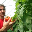 Stock Photo: Tomato Harvest in Greenhouse