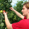 Stock Photo: Farmer Picking Ripe Tomatoes