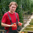 Worker Holding Tomatoes in Greenhouse — Stock Photo