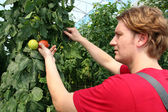 Farmer Picking Ripe Tomatoes — Stockfoto