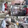 Pig Farming Management - Collage — Stock Photo #11768075