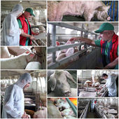 Pig Farming Management - Collage — Stock Photo