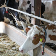 Dairy Cows in a Barn — Stock Photo #11850213