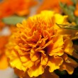 Yellow orange flower Marigold - Stockfoto