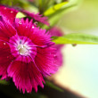 Small magenta flowers - Stockfoto