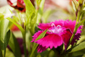 Small magenta flowers — Stock Photo