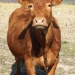 Stock Photo: British cow