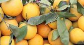 Fresh market produce of oranges — Photo