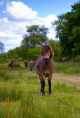 Exmoor pony Exmoor National Park Somerset England — Stock Photo