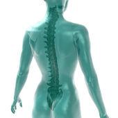 Women's spine on white — Stock Photo
