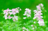 Pink verbena flower — Stock Photo