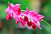 Thai orchid — Stockfoto
