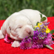 Stock Photo: Labrador puppy with flowers