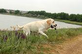 Yellow Labrador carrying a bird — Stock Photo
