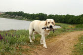 Yellow Labrador carrying a bird at trials — Stock Photo