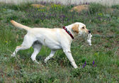 Yellow Labrador running and carrying a bird — Stock Photo