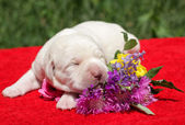 Labrador puppy with flowers — Stock Photo