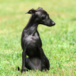 Stock Photo: Black puppy