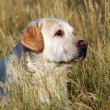 Yellow labrador portrait in field - Stock Photo