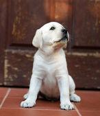 在门外的黄色拉布拉多幼犬。 — 图库照片