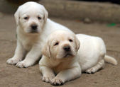 Yellow labrador puppies — Stock Photo
