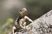 Lizard having sunshine on rock — Stock Photo