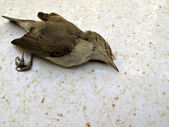 Dead bird — Stock Photo
