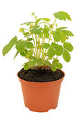 Strawberry bush in a flowerpot — Stock Photo