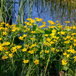 Royalty-Free Stock Photo: Marsh Marigold (Caltha palustris)