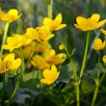 Marsh Marigold (Caltha palustris) — Stock Photo