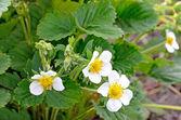 Flowering strawberries — Stock Photo