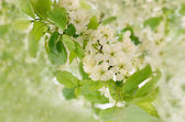 Branch of a blossoming bird cherry — Stock Photo