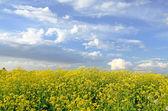 Yellow flowers of Barbarea vulgaris — Stock Photo