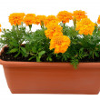 Tagetes flower — Foto Stock