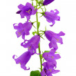 Stock Photo: Campanulflower