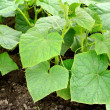 Cucumbers plants - Stock Photo