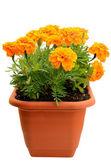 Tagetes flower in balcony flowerpot — Stock Photo