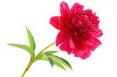 Red peony flower — Stock Photo