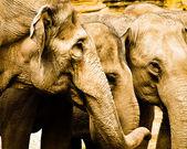 Teste di elefanti — Foto Stock