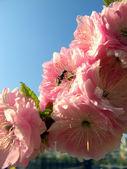 Ant in sakura flower — Stock Photo