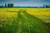 Road in dandelion field — Foto Stock