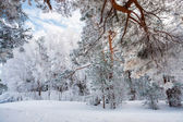 Hanging pine branches under snow — Stock Photo