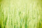 Tapete grün feld mit strahlen der roggen pflanzungen — Stockfoto