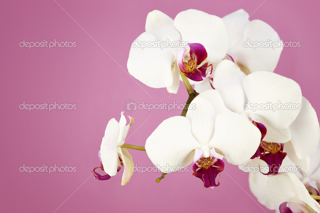Bouquet of white orchid on pink background — Stock Photo #11289911