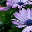 Purple Cape Daisy in my flower pot — Stock Photo