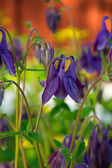 Lilac columbine flower — Foto de Stock